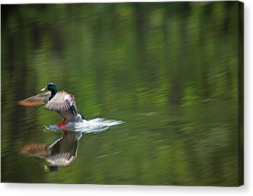 Mallard Splash Down Canvas Print