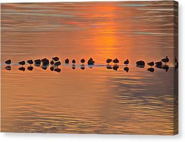 Mallards On Ice Edge During Sunset Canvas Print