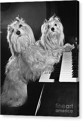 Toy Maltese Canvas Print - Maltese Pups by M. E. Browning