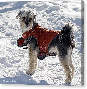 Maltese Yorkie Out For A Winter Walk Canvas Print by Barbara McMahon