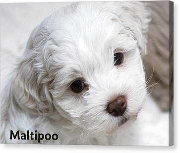 Portratis Canvas Print - Maltipoo Puppy by Lisa  DiFruscio