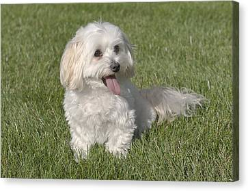 Maltipoo Puppy Sitting In The Grass Canvas Print