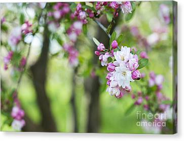 Malus Snowcloud Blossom Canvas Print by Tim Gainey
