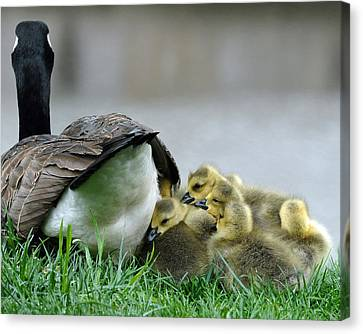 Mama And Goslings Canvas Print by Lisa Phillips
