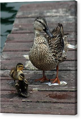 Mama Duck And Ducklings Canvas Print