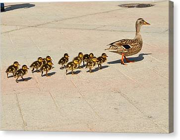 Ducklings Canvas Print - Mama Duck And Eleven Ducklings by Eva Kaufman