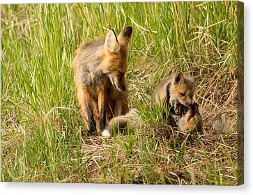Mama Fox And Kits 2 Canvas Print by Natural Focal Point Photography