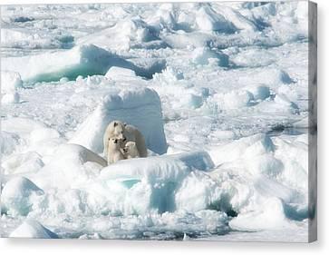 Mama Polar Bears And Cubs Canvas Print