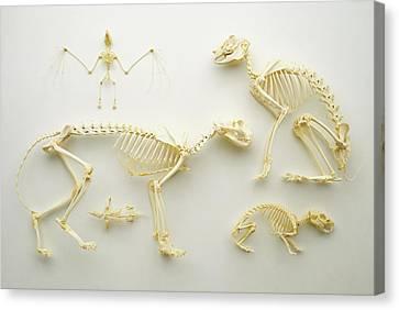 Mammal Skeletons Canvas Print