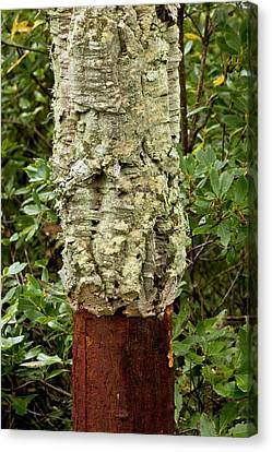 Managed Cork Oak (quercus Suber) Tree Canvas Print by Bob Gibbons