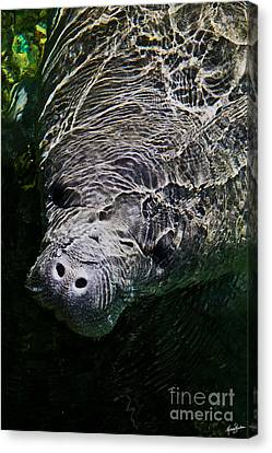Manatee 01 Canvas Print by Melissa Sherbon