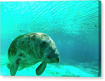 Manatee Swimming In Clear Water Canvas Print