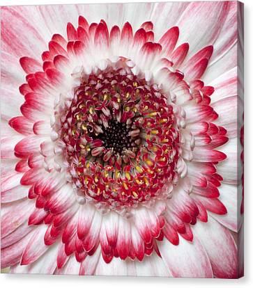 Mandala Canvas Print by Daniel Csoka
