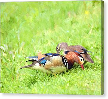 Mandarin Duck Couple Canvas Print