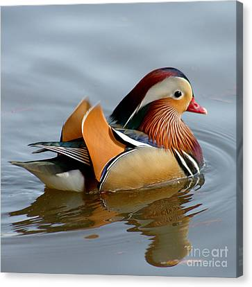 Canvas Print featuring the photograph Mandarin Duck Swimming by Bob and Jan Shriner