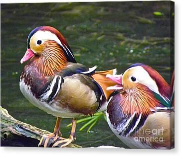 Mandarin Ducks Canvas Print by Eve Spring