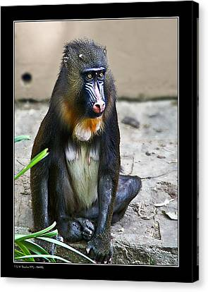 Canvas Print featuring the photograph Mandril by Pedro L Gili