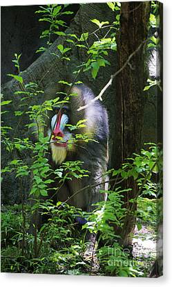Canvas Print featuring the photograph Mandrill Baboon by Rafael Quirindongo