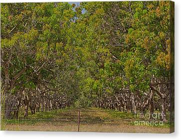 Mango Orchard Canvas Print by Douglas Barnard