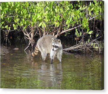 Mangrove Coon Canvas Print by Bob Jackson