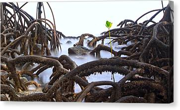 Mangrove Tree Roots Detail Canvas Print by Dirk Ercken