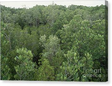 Mangrove Trees Canvas Print