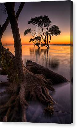 Mangroves Of Beachmere Canvas Print by Robert Charity