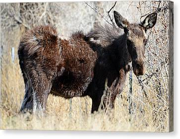 Mangy Moose Canvas Print by Eric Nielsen