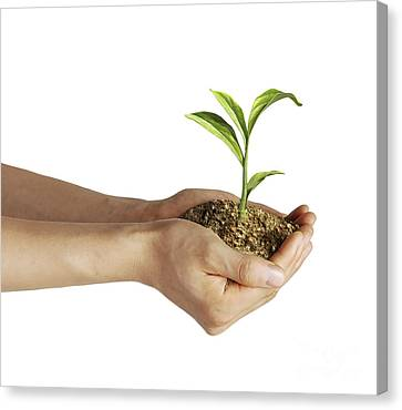 Mans Hands Holding Soil With A Little Canvas Print by Leonello Calvetti
