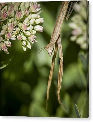 Mantis Hanging Out Canvas Print by Jean Noren