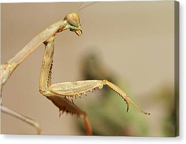 Mantis On The Hunt Canvas Print by Shoal Hollingsworth