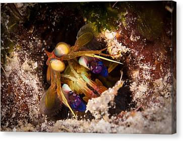 Mantis Shrimp Canvas Print