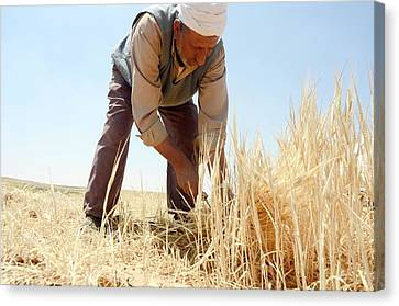 Manual Wheat Harvesting Canvas Print by Photostock-israel