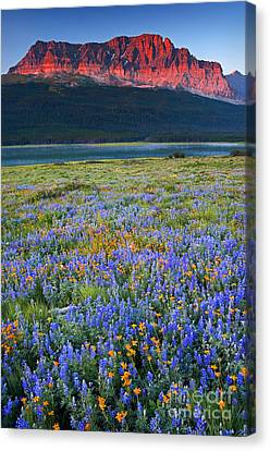 Many Glacier Morning  Canvas Print by Aaron Whittemore
