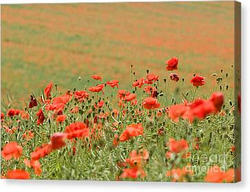 Many Poppies Canvas Print by Anne Gilbert