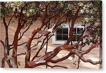 Manzanita Canvas Print by Denice Breaux