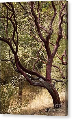 Manzanita Tree Canvas Print by Suzanne Luft