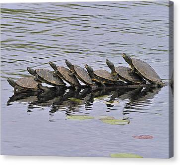 Map Turtles Canvas Print by Tony Beck
