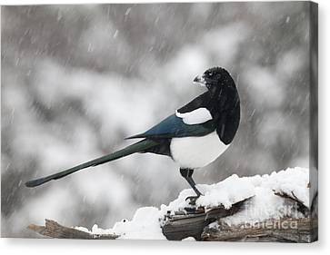 Magpies Canvas Print - Mapgie In Profile by Tim Grams