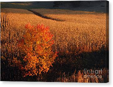Maple And Cornfield At Dawn Canvas Print by Larry Ricker