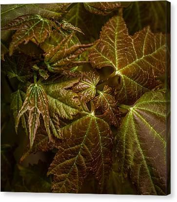 Maple Leaf Abstract Canvas Print by Paul Freidlund