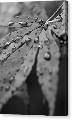 Maple Leaf In Black And White Canvas Print by Bob Noble Photography