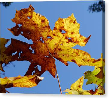 Maple Leaf On A Blue Sky Canvas Print by Peter Mooyman