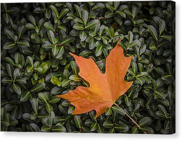 Maple Leaf On Boxwood Canvas Print