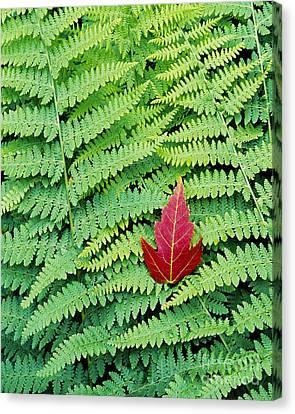 Maple Leaf On Ferns Canvas Print by Alan L Graham