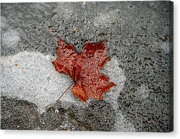 Maple Leaf Under Ice Canvas Print by Carolyn Reinhart