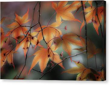 Maple Leaves 2 Canvas Print