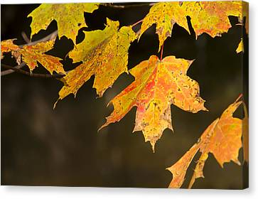Maple Leaves In Autumn Canvas Print by Larry Bohlin