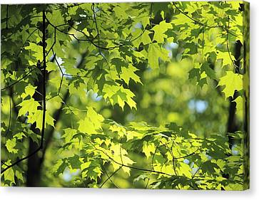 Maple Leaves In Spring Canvas Print by Dennis Lundell