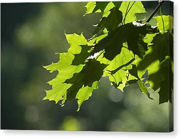 Maple Leaves In Summer Canvas Print by Larry Bohlin